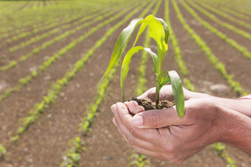 Close up of farmer cupping corn seedling in field