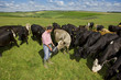 Farmer feeding cattle herd in sunny rural field