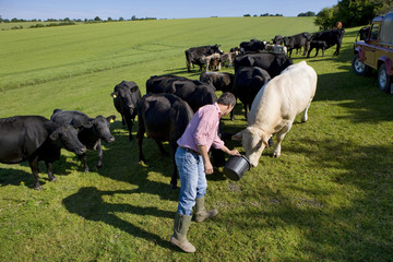 Farmer feeding cattle in rural field