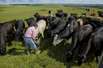 Farmer feeding cattle herd in sunny rural field