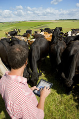 Farmer using digital tablet among cattle herd in sunny rural field