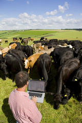 Farmer using laptop among cattle herd in sunny rural field