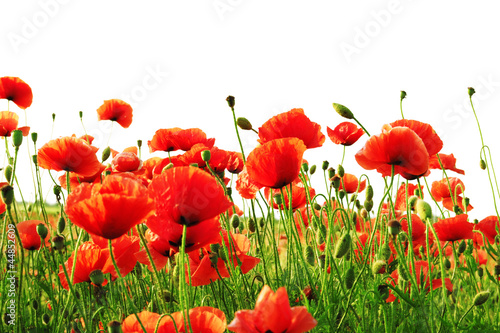 Foto op Canvas Poppy red poppy isolated on white background