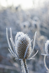 Frost covered cow parsley stalks in winter