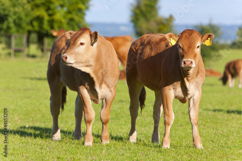 Young cows standing in field