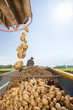 Potatoes falling into trailer with farmer in background