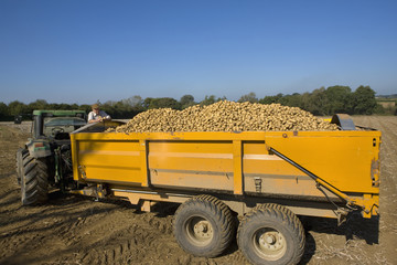 Farmer inspecting potatoes from trailer in sunny, rural field