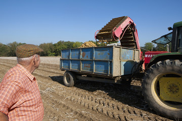 Farmer watching potatoes empty into trailer in sunny, rural field