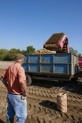 Farmer watching potatoes empty into trailer in sunny, rural field