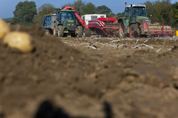 Tractors harvesting potatoes in sunny, rural field