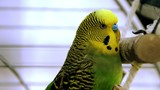 parakeet yellow and green