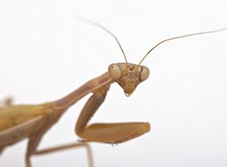 Mantis sobre fondo blanco