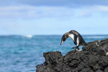 Galapagos penguin having fun walking on the rocks