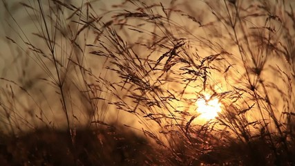 reed swaying at the sunset
