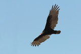 Adult Turkey Vulture Soaring Against a Clear Blue Sky