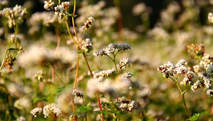 Blossom of buckwheat