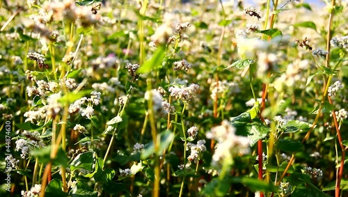 Buckwheat on the field