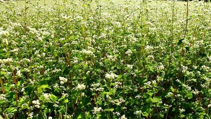 Bee in the buckwheat