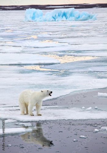 Foto op Plexiglas Antarctica 2 Polar bear in natural environment