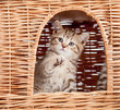 funny little Scottish kitten inside wicker cat house