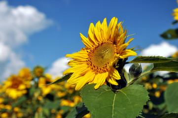 Eine Sonnenblume im Sonnenblumenfeld