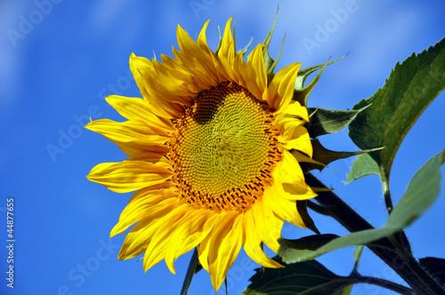 Eine Sonnenblume vor blauen Himmel