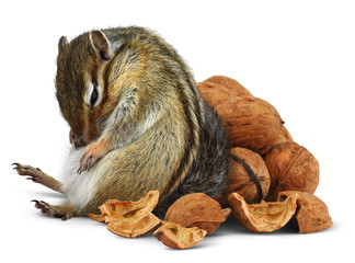 Funny overeating chipmunk with nuts