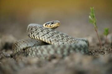 Schlange, Ringelnatter,