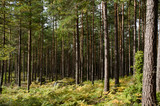 Fototapety Pine forest with rocks, moss and golden bracken