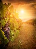 Fototapety Vineyard in autumn harvest