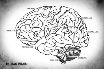 The human brain structure