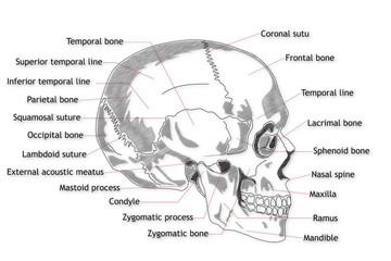 Human Skull structure animation illustration