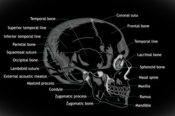 Human Skull structure animation illustration