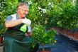 happy senior man, gardener cares for citrus plants in greenhouse