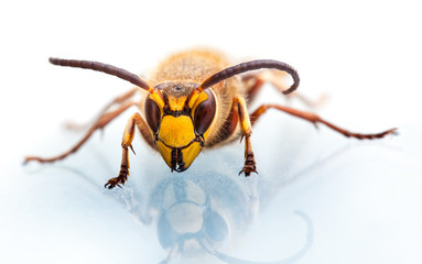 Wasp head on white