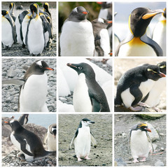Collage with different penguin species