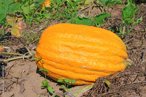 Pumpkin in the field