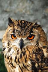 Owl [Castle Strecno]