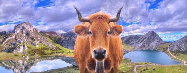 Vaca en los lagos de Covadonga, Asturias, España.