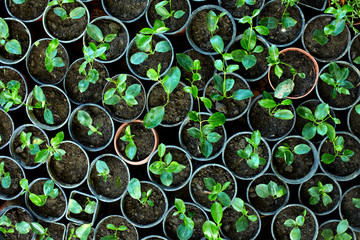many young potted sprouts in greenery, top view