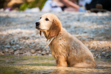 Golden Retriever (Lof), 4 mois.
