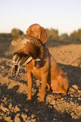 Magyar Vizsla hunting dog
