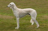 White Saluki or gazelle hound