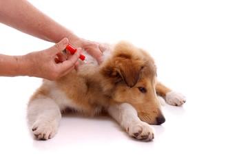 Zeckenentfernung beim Hund