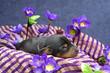 Miniature Pinscher puppy, 5 days old