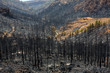 Black ashes of canary pine after forest fire at Teide