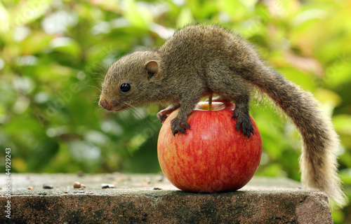 Squirrel on an apple