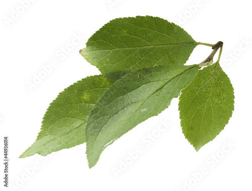 Plum's leaves