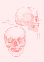 skull with dental medical terms