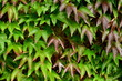 Background Texture Of Ivy Leaves Against A Garden Wall